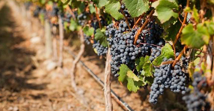 Harvest 2013 is coming! Autumn news from the vineyard